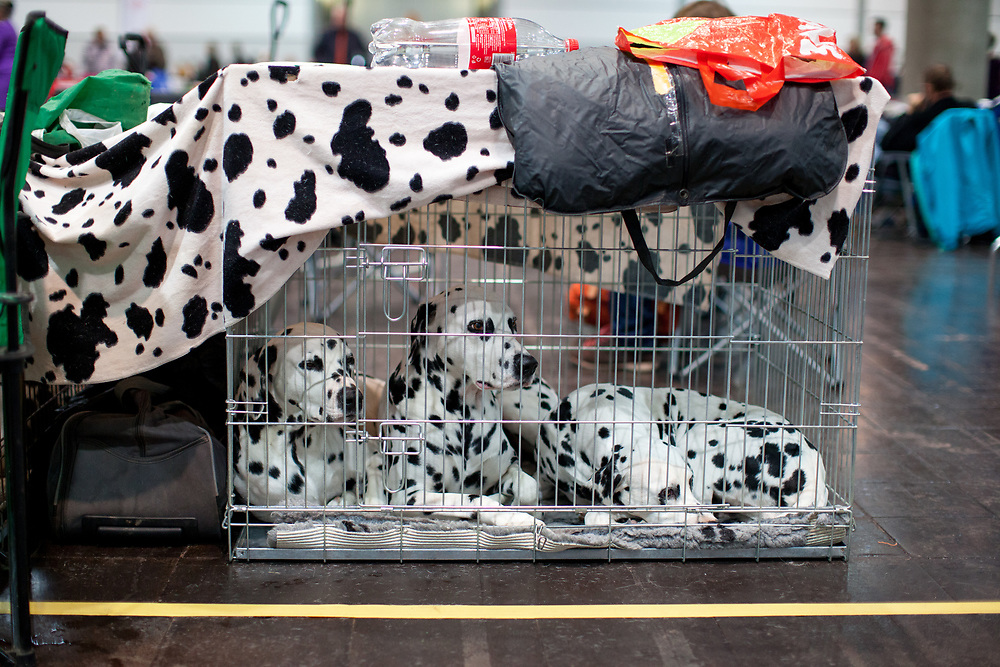 A cage with Dalmatian dogs at the World Dog exhibition on the Leipzig Trade Fair. Over 31,000 dogs from 73 nations will come together from 8-12 November 2017 in Leipzig for the biggest dog show in the world.