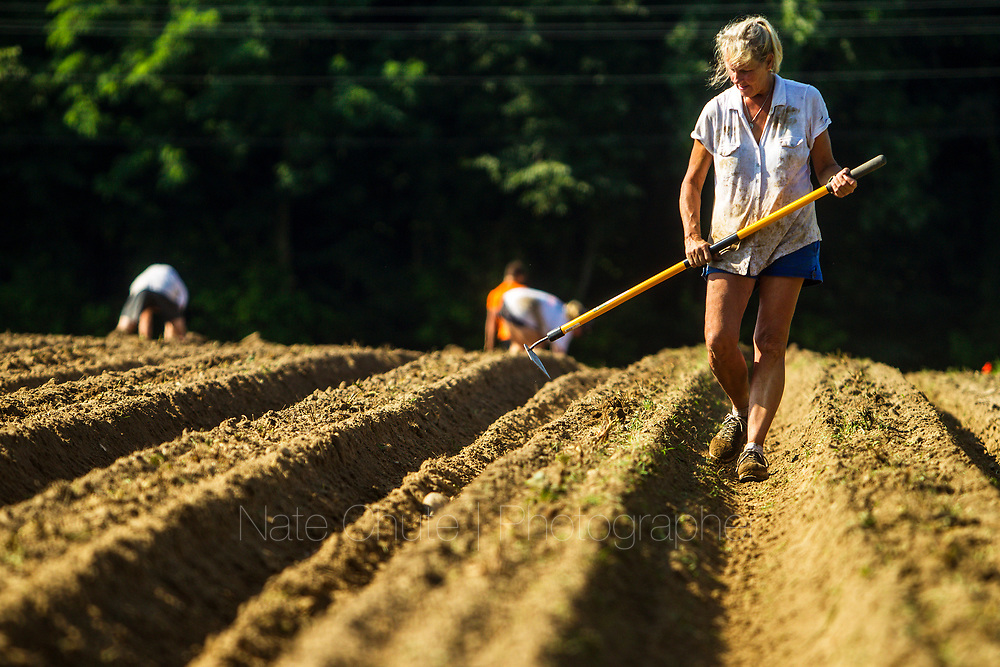 Strawberry planting at Annie's Orchard in West Lafayette, Indiana on Tuesday, July 10, 2018.