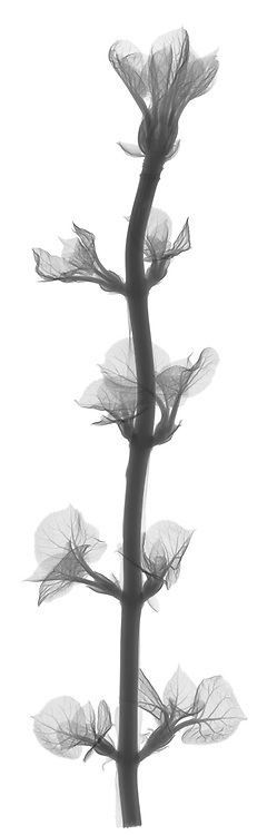 X-ray image of a climbing hydrangea (Hydrangea petiolaris, black on white) by Jim Wehtje, specialist in x-ray art and design images.