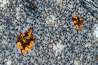 European plaice, scales, Pleuronectes platessa, Lofoten, Norway,