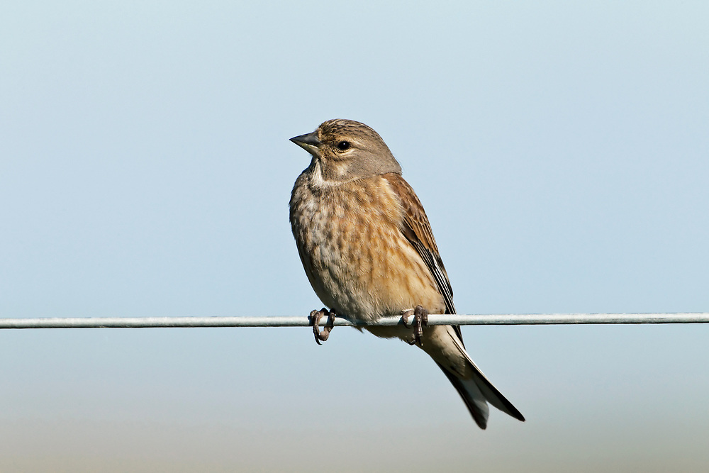 Linnet - Carduelis cannabina - female