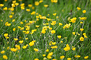 Buttercups growing in a meadow, Oxfordshire, Cotswolds, England