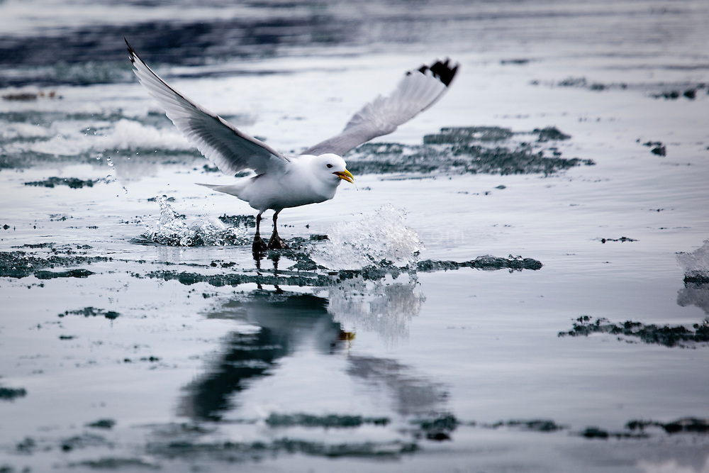 Black Legged Kittiwake, rissa tridactyla,  landing amongst fragments of  sea ice Kongsfjord, Svalbard. Kittiwake populations have been under pressure in recent years, as changes to food sources, possibly caused by climate change and other environmental factors, have forced the birds to travel further, for longer to feed.