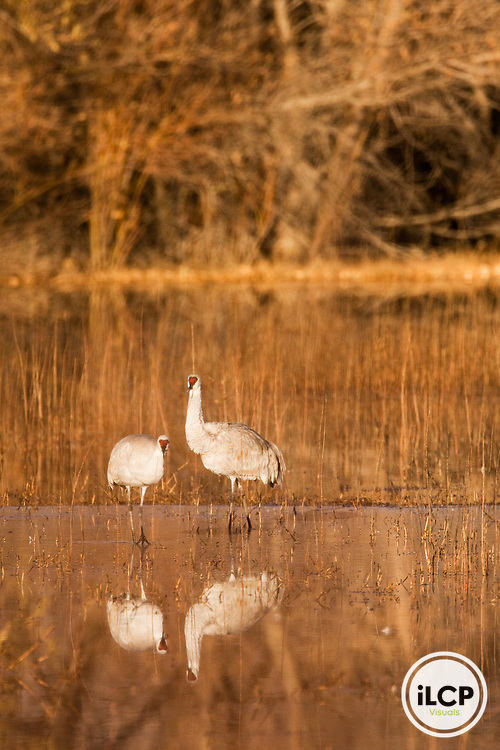Sandhill Crane (Grus canadensis) pair in pond, Bosque del Apache National Wildlife Refuge, New Mexico