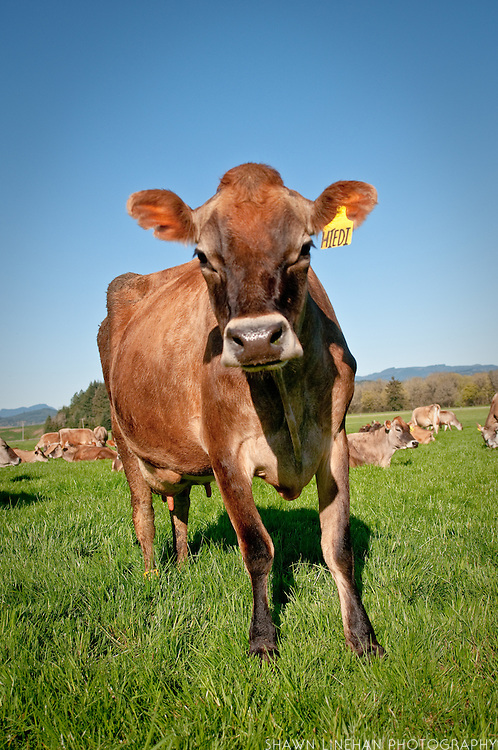 Jersey cows are know for their good cream and protein content.
