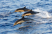 Common dolphin (Delphinus delphis) photographed in Baja California, Eastern Pacific.