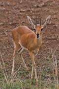 Steenbok at Kruger
