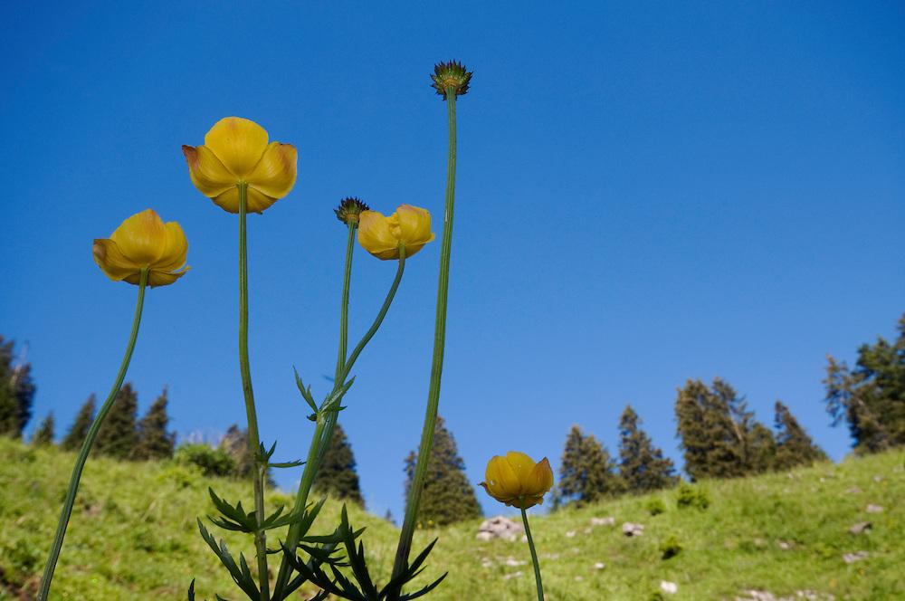 Trollius europaeus; Globe flower, mountain area near Steg, Liechtenstein