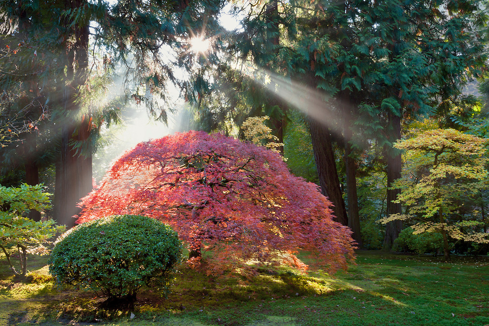 Sunlight filters through light fog  to create a dramatic starburst over a red maple tree, at the Portland Japanese Garden.