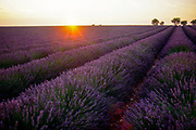 Field of lavendar at sunset, Provence, France