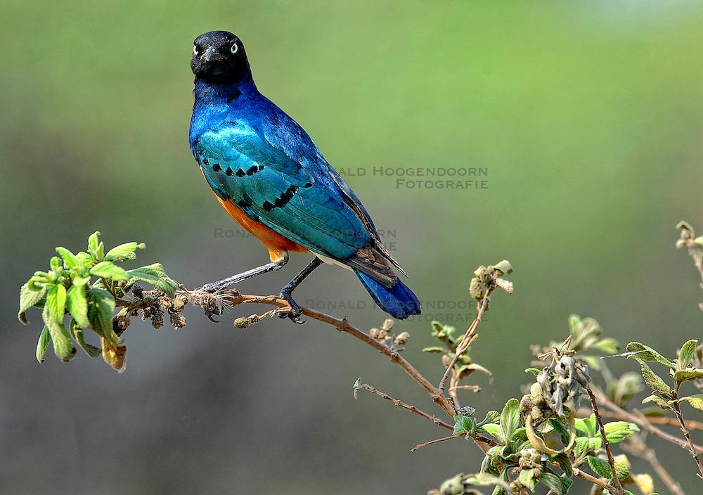 24-10-2008 REPORTAGE: KILIMANJARO CHALLENGE 2008: TANZANIA <br /> De dag van De Ngorongoro-krater, de grootste intakte caldera (ingestorte vulkaankegel) ter wereld. Hij bevindt zich ten noordwesten van Arusha in Tanzania / Wild, dieren, Natuur, vogels, Drie kleuren spreeuw<br /> &copy;2008-FotoHoogendoorn.nl