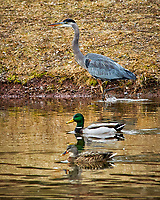 Great Blue Heron and Mallards. Sourland Mountain Preserve. Image taken with a Nikon D300 and 80-400 mm VR lens (ISO 800, 400 mm, f/8, 1/250 sec)