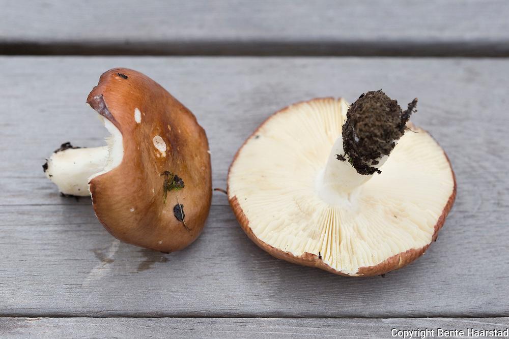 Mandelkremle, Russula integra. The Entire Russula, found in conifer forests. M&oslash;rkt sjokoladebrun, lysebrun til gulbrun, eller brunfiolett eller m&oslash;rk r&oslash;dfiolett. Hatt f&oslash;rst nesten rund, senere hvelvet til utbredt med nedsunket midtparti. Skivene f&oslash;rst hvitaktige, senere gulere og tilslutt okergule, p&aring;fallende tykke og fjernstilte. Tverr&aring;rer. L&oslash;sner som &quot;mandelflak&quot;. Meget god matsopp. S&aelig;rlig i n&aelig;ringsrik barskog. Vanlig i store deler av landet.<br /> The cap is almost shaped like a sphere at first, and soon becomes flattened or depressed. The cuticle is shiny, varies in color, but is usually brown and tinged with violet, purple, yellow, or green. The gills are thick, widely spaced, easily crumbled into small pieces, white at first and then turns bright yellow eventually. The stipe is thick and white, but stains yellow or russet with age. The flesh is white, very firm, and has a mild flavor. the species has a crunchy texture and tastes nutty.
