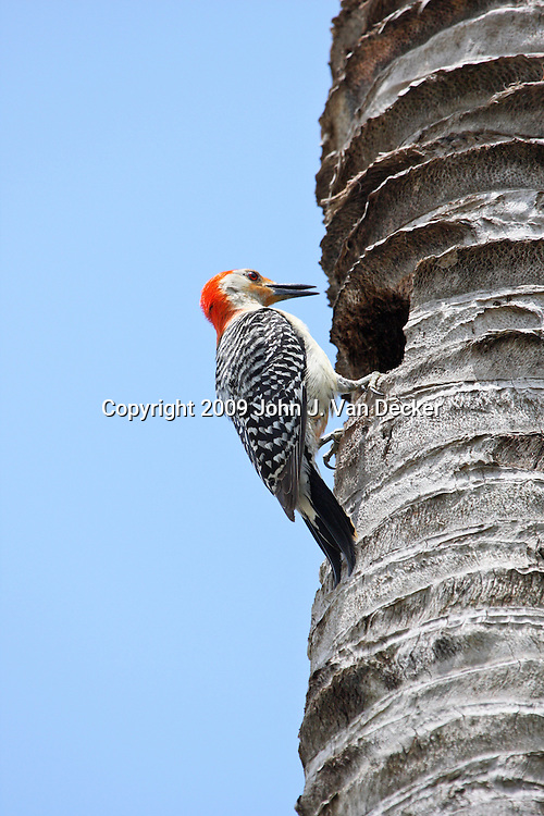 Red-bellied Woodpecker on a palm tree trunk