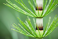 Great Horsetail, Equisetum telmateia, Poloniny National park, Western Carpathians, Eastern Slovakia, Europe, Riesen-Schachtelhalm; Equisetum telmateia; Poloniny Nationalpark, Slowakei, Europa
