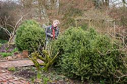 Carol Klein with box hedge prior to cloud pruning. Buxus sempervirens 'Elegantissima'