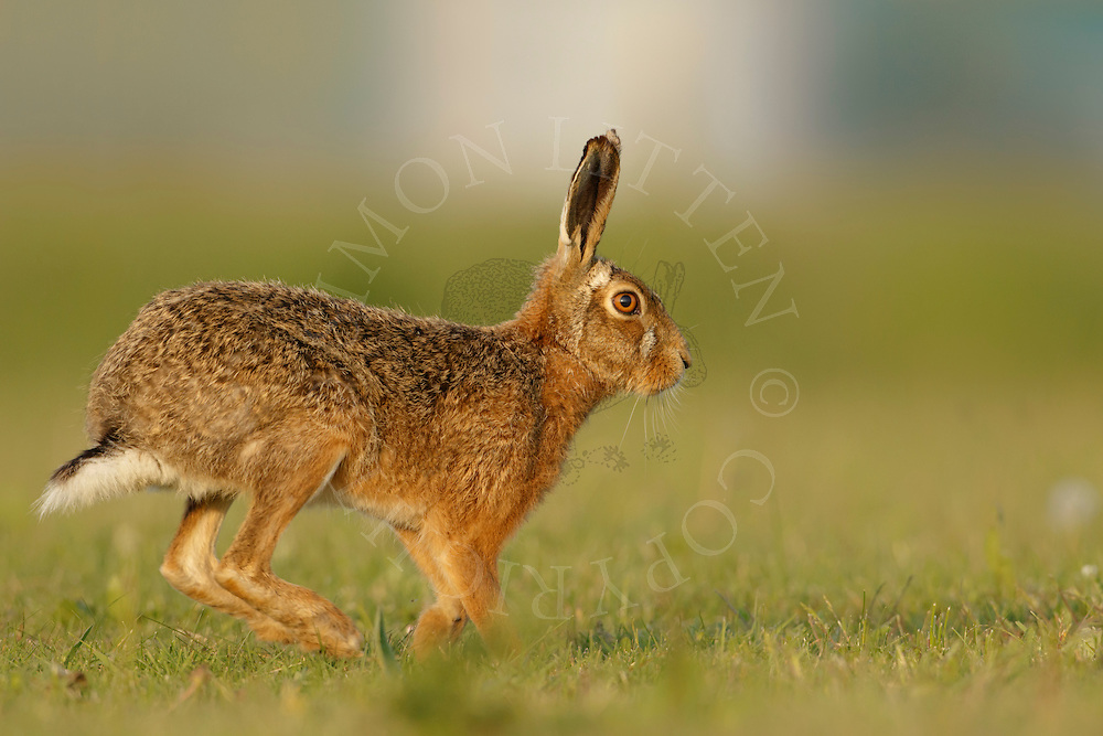 European Hare (Lepus europaeus) adult running aross grassland, Norfolk, UK.April