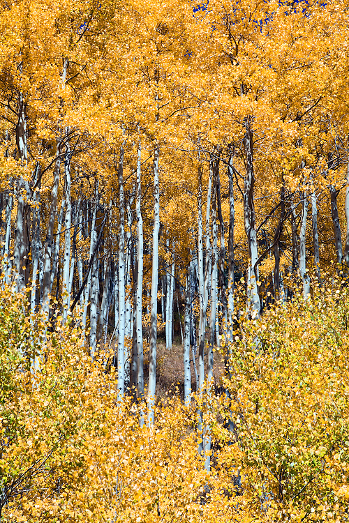 Vail, Colorado:  Aspens turning color on Shrine Pass Road.