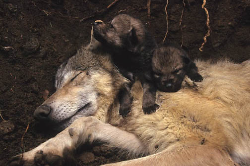 Gray Wolf, (Canis lupus) Mother with newborn pups in den. Spring. Captive Animal.