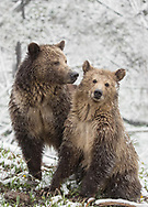 It's heartwarming to witness the love between Raspberry and her now 2 1/2 year old cub, Snow.  I remember when Raspberry first appeared with her two spring cubs in 2015, she didn't seem to know quite what to do with them. Now, it's hard to imagine one without the other. I know it's almost time for Snow to start life on her own, but with no signs of aggression from Raspberry, I'm hoping she will keep Snow for another year. Life is difficult for young grizzlies so one more year with Mom will greatly help Snow's chances of survival.