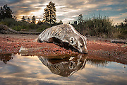 An American badger (Taxidea taxus) at a desert watering hole just after sunrise in the high-desert of Oregon.
