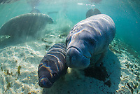 Florida manatee, Trichechus manatus latirostris, a subspecies of the West Indian manatee, endangered. February 29, 2008, rare series of the documented first day of a newborn male manatee calf that takes place out front of Three Sisters in the shallow waters in front of the manatee sanctuary. The rare event begins about an hour after sunrise. No other people, besides myself, came for almost an hour so this depicts natural manatee behaviors. It was an unusually cold, late winter morning. The newborn manatee is next to an escort female that teamed with the calf's mother to keep him away and safe from other active curious manatees. It is thought this escort female is a relative, attentive friend or a hopeful adoptive mother. Horizontal orientation with mixing blue, aqua and green waters and strong rainbow sun rays. Three Sisters Springs, Crystal River National Wildlife Refuge, Kings Bay, Crystal River, Citrus County, Florida USA.