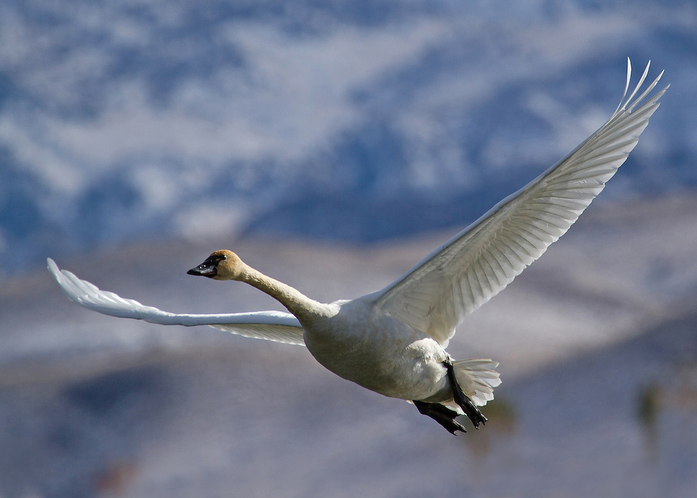 In late autumn, tundra swans pass through northwest Wyoming on a long journey to their wintering grounds. These swans travel over 4,000 miles a year to summer in the arctic tundra of Canada and Alaska. During November, they're on their way back to more temperate areas of North America, where they spend the winter.