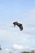 Kenya, Masai Mara, Lappet-faced Vulture or Nubian Vulture (Torgos tracheliotus) in flight