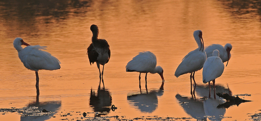 A group of white ibis, including one mottled-brown juvenile, feed in the tidal flats of Ding Darling National Wildlife Refuge on Sanibel Island.