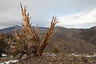 An ancient bristlecone pine overlooks the barren hills of the Bristlecone Pine Forest in the white mountains