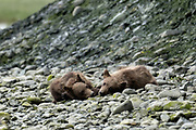 Grizzly bear spring cubs rest near the lower lagoon at the McNeil River State Game Sanctuary on the Kenai Peninsula, Alaska. The remote site is accessed only with a special permit and is the world's largest seasonal population of brown bears.