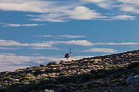 NANDU DE DARWIN O CHOIQUE (Rhea Pterocnemia pennata)  EN LA ESTEPA PATAGONICA, PARQUE NACIONAL PERITO MORENO, PROVINCIA DE SANTA CRUZ, PATAGONIA, ARGENTINA (PHOTO © MARCO GUOLI - ALL RIGHTS RESERVED)
