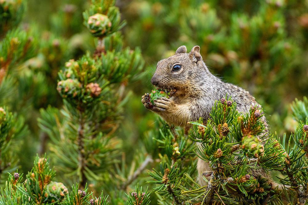 Rock Squirrel [Spermophilus variegatus] eating green Pinyon pine cones; Fremont County, Colorado