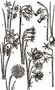 Varieties of Jonquils, multiflowered members of the Narcissus family.   Woodcut from 'Paradisi in Sole Paradisus Terrestris' by John Parkinson (London, 1629).