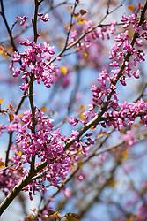 Cercis siliquastrum AGM in flower. Judas tree