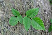 poison; ivy; vine;  Schuylkill Center; PA; Philadelphia; Anacardiaceae; spring
