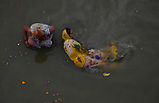 Feb. 8, 2016 - Allahabad, India - <br /> <br />  Indian pilgrims take a holy dip at holy sangam, on the occasion of ''Mauni Amavasya'' '' or new moon day, in Allahabad, on February 8, 2016. Mauni Amavasya is considered the most auspicious date of bathing during the annual month long ''Magh Mela'' religious fair.©Exclusivepix Media