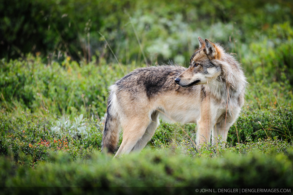 An adult member of the Grant Creek wolf pack looks at other adult members of the pack as the pack was traveling near Stony Creek in Denali National Park and Preserve in Alaska.<br /> <br /> The Grant Creek wolf pack of Denali National Park and Preserve has been described as one of the most visible and photographed group of wolves in the world as the pack&rsquo;s home range includes the park road that bisects much of the vast six million acre park.<br /> <br /> In May of 2012, The Los Angeles Times wrote about the deaths of the two primary breeding females of the pack. The death of one of these females was the result of being snared by a trapper just outside the park boundary. According to the story a trapper shot an aging horse near its death and used it as bait to lure and fatally snare the female radio-collared wolf and a male wolf. It is unknown if the male wolf was part of the Grant Creek wolf pack. The wolf kills were within a former no-wolf-killing zone that had been established by the Alaska Department of Fish and Game because the zone was surrounded on three sides by park land. In 2010, the regulation expired and the board of the department declined to retain the special area designation.<br /> <br /> What makes the loss of this female troubling to advocates of the no-wolf-kill zone is that the female wolf was believed to be the only remaining primary breeding female wolf in the Grant Creek pack. Earlier this spring, the only other primary breeding female of the pack was found dead of natural causes within park boundaries. In November of 2012 the Fairbanks News-Miner reported that researchers found that the Grant Creek Pack didn't produce pups in 2012, their den abandoned and the pack split up.<br /> <br /> For the entire park, the number of wolves counted was the lowest in 25 years, down from 143 in 2007 to 57 this year.