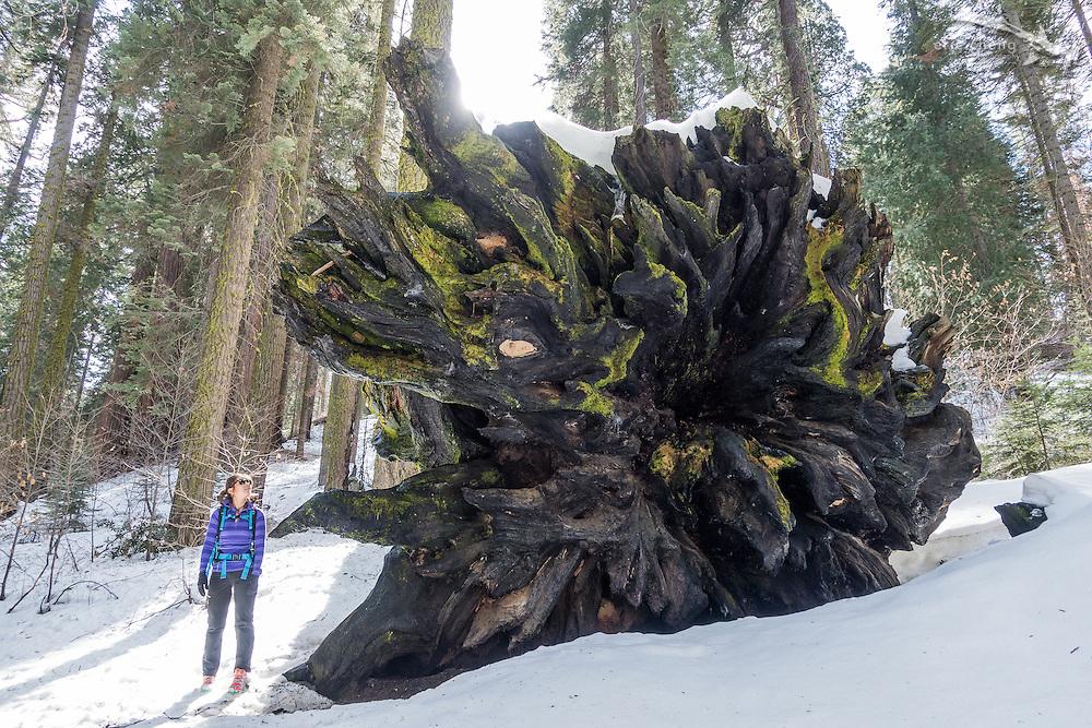 A fallen sequoia tree. Sequoia National Park, California. w/Nana Trongratanawong