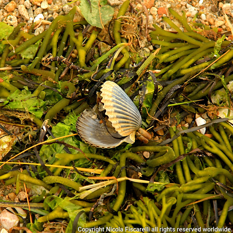 An empty clam shell laing on top of  the sea weeds on the beache of  Cape Cod  Massachusetts.