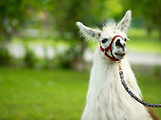 Face shot of white lama with harness.