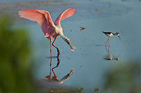 Roseate Spoonbill (Ajaia ajaja) with a stilt.  Everglades National Park, Eco Pond..Florida, USA.