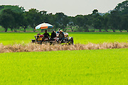 """15 NOVEMBER 2012 - PATHUM THANI, PATHUM THANI, THAILAND:  Rice field workers ride to work on a tractor near Pathum Thani. They were going out to harvest rice. The Thai government under Prime Minister Yingluck Shinawatra has launched an expansive price support """"scheme"""" for rice farmers. The government is buying rice from farmers and warehousing it until world rice prices increase. Rice farmers, the backbone of rural Thailand, like the plan, but exporters do not because they are afraid Thailand is losing its position as the world's #1 rice exporter to Vietnam, which has significantly improved the quality and quantity of its rice. India is also exporting more and more of its rice. The stockpiling of rice is also leading to a shortage of suitable warehouse space. The Prime Minister and her government face a censure debate and possible no confidence vote later this month that could end the scheme or bring down the government.   PHOTO BY JACK KURTZ"""