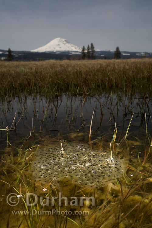 An oregon spotted frog (Rana pretiosa) egg mass just below the surface of Conboy Lake. Conboy Lake National Wildlife Refuge, Washington. Mount Adams is visible on the horizon.
