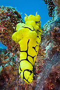 Minor Notodoris nudibranch - Agincourt Reef, Great Barrier Reef, Queensland, Australia.