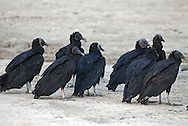 A group of black vultures standing on the beach. Black vultures, Coragyps atratus, also known as the American black vulture.