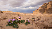 Flowering Diplotaxis acris. (rare wildflower) Photographed in the Negev Desert, Israel in January