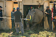 White Rhinoceros (Ceratotherium simum) released in Great Karoo from Kruger National Park<br /> Private Reserve<br /> SOUTH AFRICA<br /> RANGE: Southern & East Africa<br /> ENDANGERED SPECIES<br /> (MR)