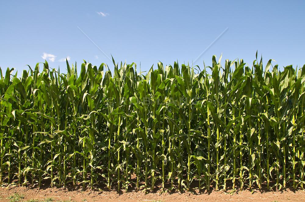 beautiful corn in a field
