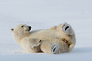 This female polar bear is rolling in the snow.  It is believed they do this to clean themselves.